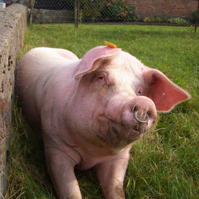 Ein glückliches Schwein aus Allermöhe