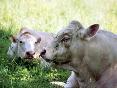 Zwei Rinder aus Allermöhe