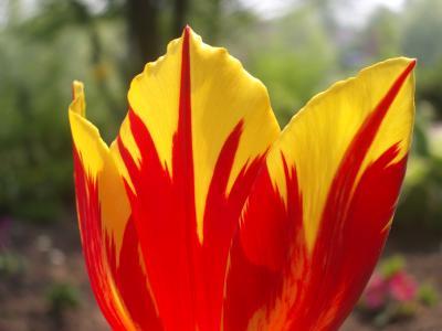 Die perfekte Tulpe