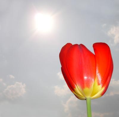 Tulpe und Sonne