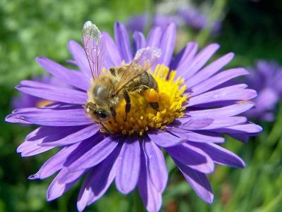 Fleißiges Bienchen... (3)