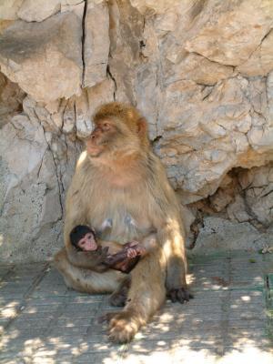 Berberaffenmutter mit Kind auf Gibraltar