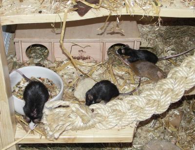 Mäuse-Versammlung
