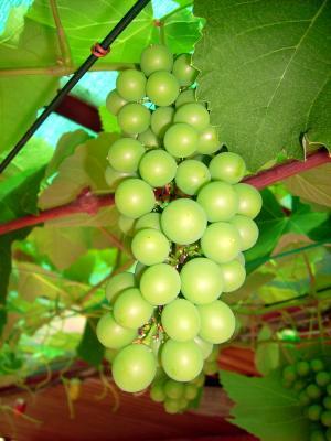 Weintraube - noch nicht reif