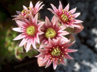 Blüten eines Dachwurz
