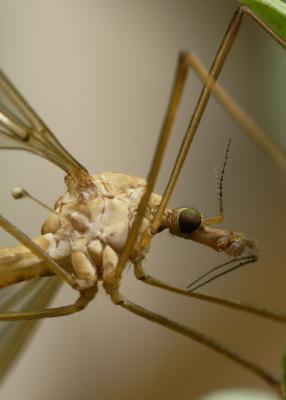 Schnake aus Ameisensicht