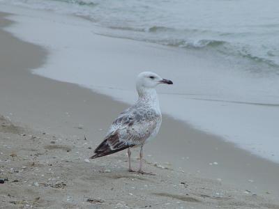 Möve am Strand von Albena