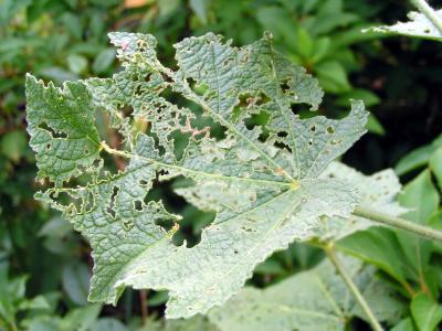 Eingebissener Pflanzenblatt