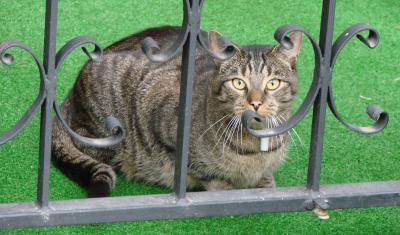Katze hinter Zaun