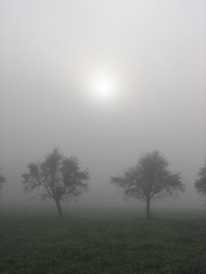 Apfelbäume im Morgennebel