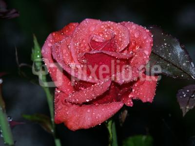 Rose in der Abenddämmerung