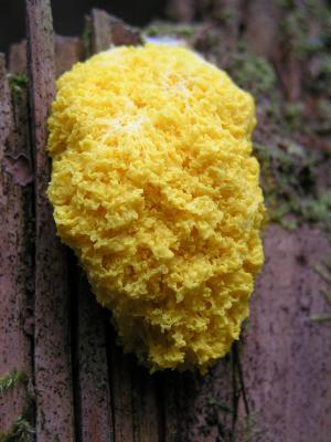 Gelbe Lohblüte