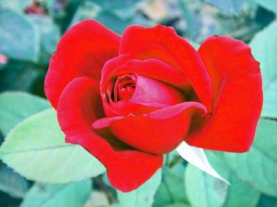 Blutrote Rose