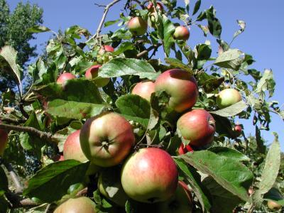 hoch hinaus - Apfelbaum