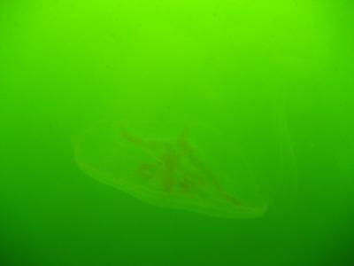 Qualle Ostsee 1