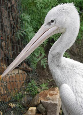 Junger Pelikan