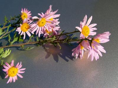 Herbstaster... (3)