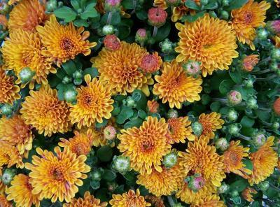 Herbstaster... (5)