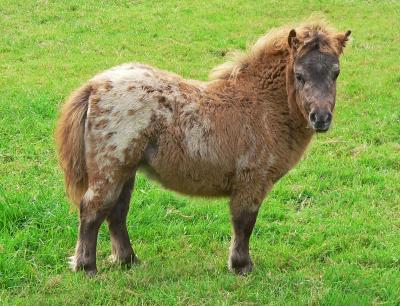 Mini-Appaloosa Pony Fohlen