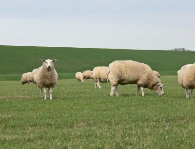 Schafweide mit Schafen