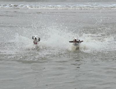 Dalmatiner spielen im Wasser 1