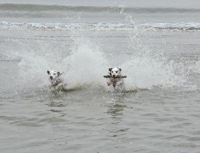 Dalmatiner spielen im Wasser 2