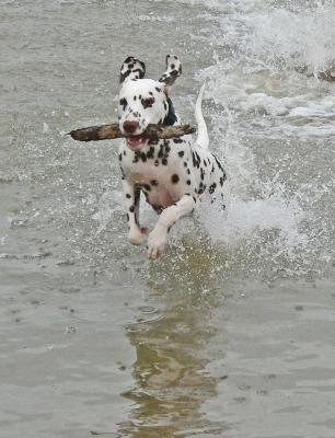 Dalmatiner spielen im Wasser 3