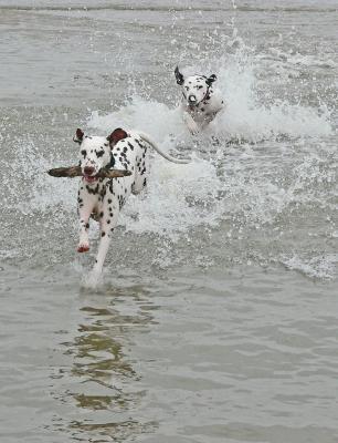 Dalmatiner spielen im Wasser 4