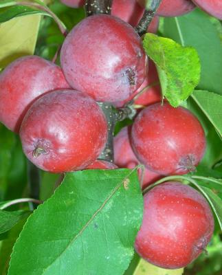 Rote Apfelpracht