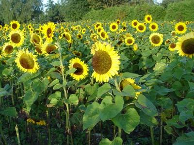 Sonnenblumenfeld II