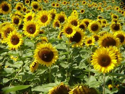 Mein definitiv letztes Sonnenblumenbild 2006