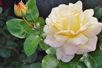 Die Rose Gloria Dei
