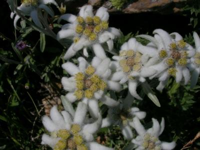 Edelweiss_1