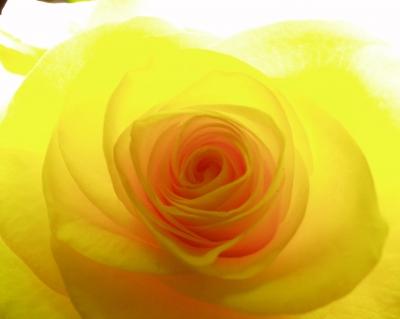 leuchtend gelbe Rose