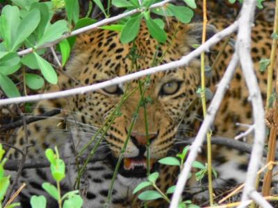 Leopard im Versteck