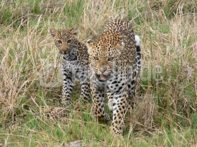 Leopardin mit Nachwuchs