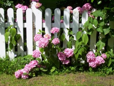 kostenloses foto verwunschener zaun hortensien. Black Bedroom Furniture Sets. Home Design Ideas