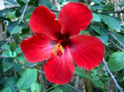 rote Hibiscusblüte