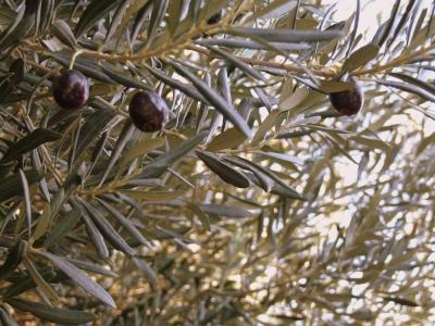 ...die letzten reifen Oliven...