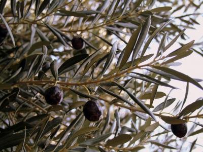 ...die letzten reifen Oliven...2