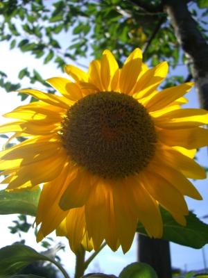 Sonnenblume #2