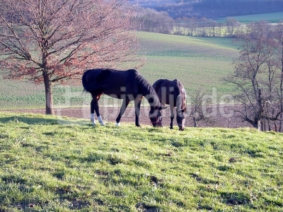 Pferde auf der Weide 1