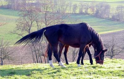 Pferde auf der Weide 2