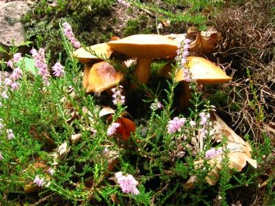 Pilze mit Blüte