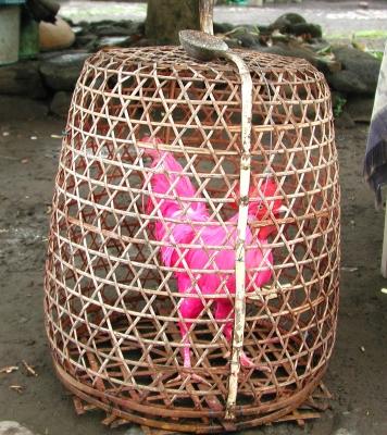 Hahn pink