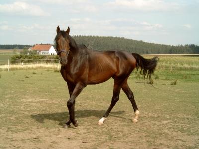 Unser Rennpferd auf der Koppel (2)