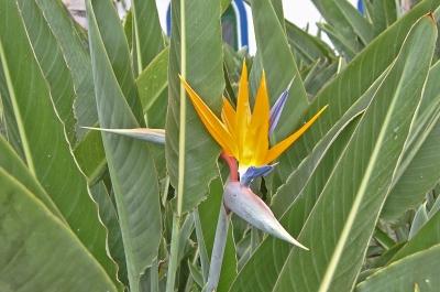 Schriller Paradiesvogel