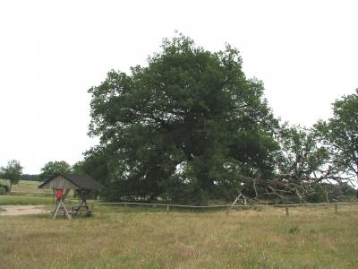 Usedom Thing Eiche 900 Jahre