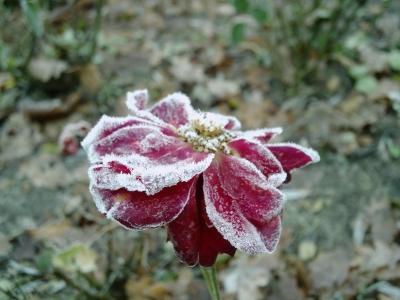 Rose traurig