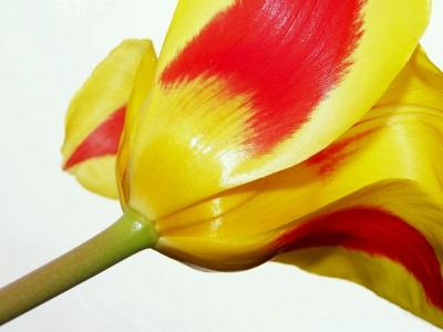 Tulpen-Solo